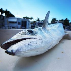 mackerel_1